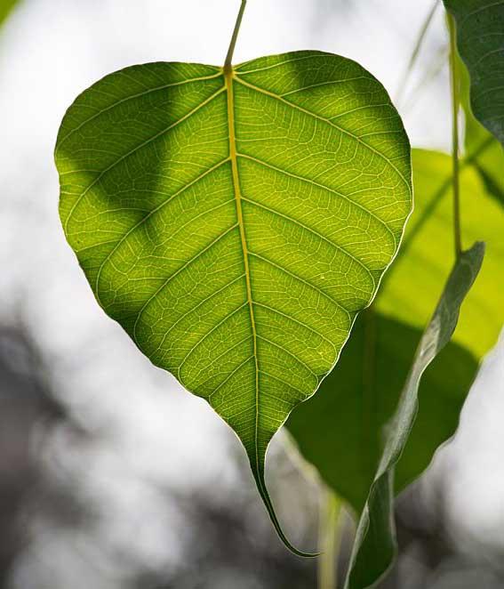 無佛像時期,那時候菩提樹、佛足、法輪、佛塔、蓮花,就是佛的象徵。